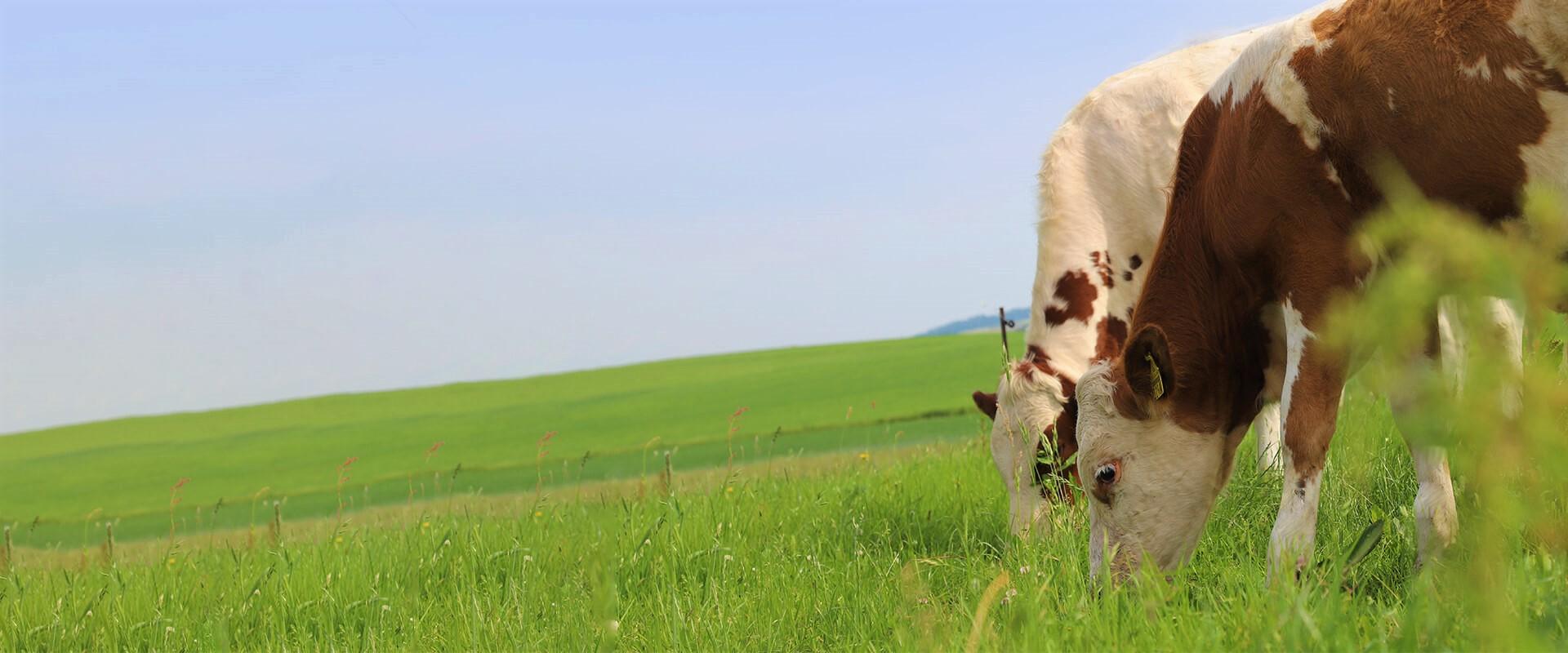 Herzmuht für Kühe